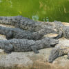 planète crocodiles